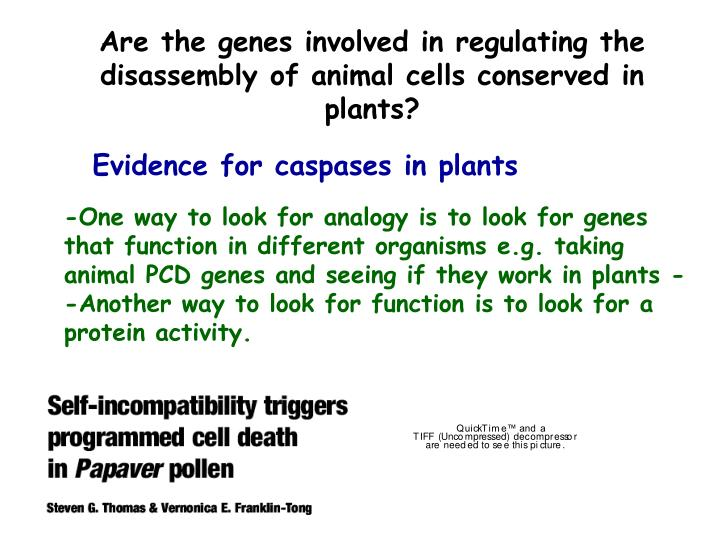Are the genes involved in regulating the disassembly of animal cells conserved in plants?