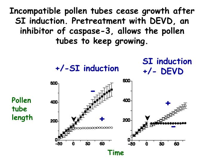 Incompatible pollen tubes cease growth after SI induction. Pretreatment with DEVD, an inhibitor of caspase-3, allows the pollen tubes to keep growing.