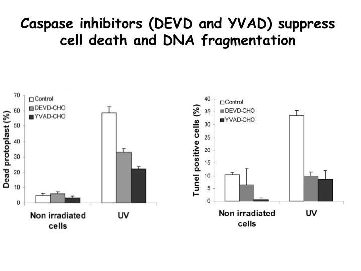 Caspase inhibitors (DEVD and YVAD) suppress cell death and DNA fragmentation