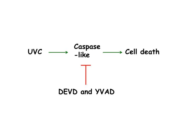 Caspase-like
