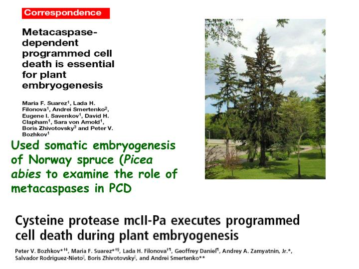 Used somatic embryogenesis of Norway spruce (