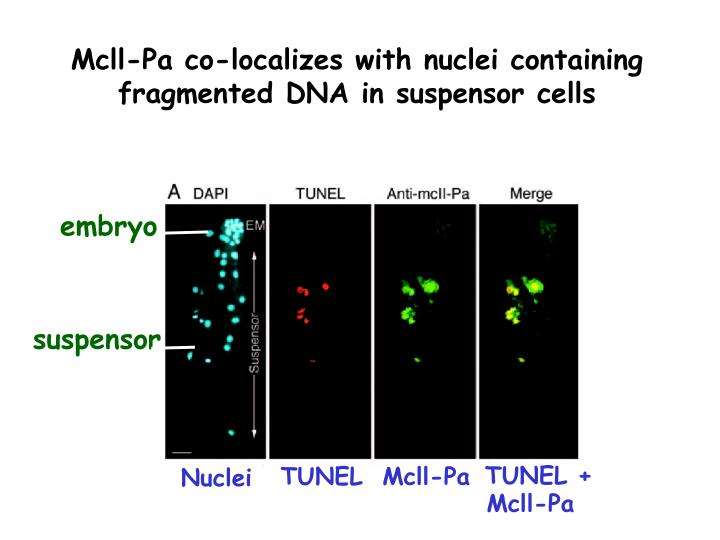 Mcll-Pa co-localizes with nuclei containing fragmented DNA in suspensor cells