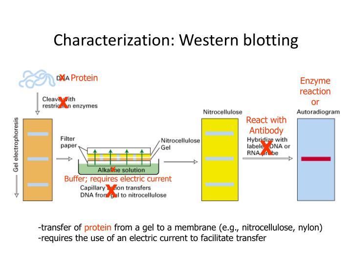 Characterization: Western blotting