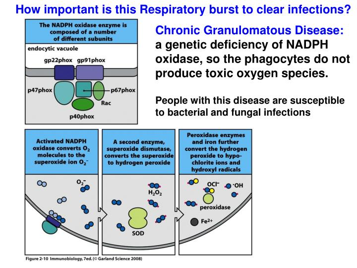 How important is this Respiratory burst to clear infections?