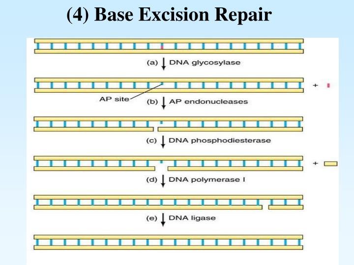 (4) Base Excision Repair
