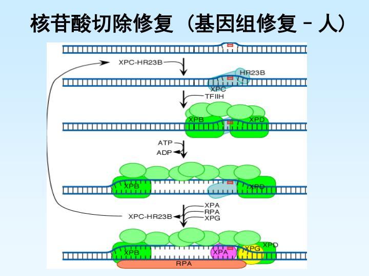 核苷酸切除修复