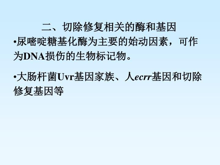 二、切除修复相关的酶和基因
