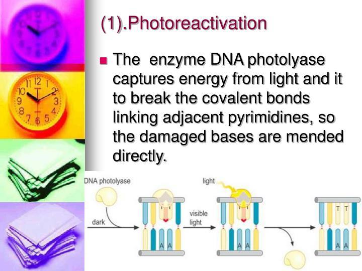 (1).Photoreactivation
