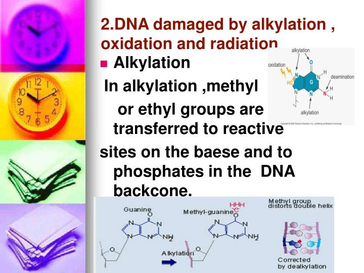 2.DNA damaged by alkylation , oxidation and radiation
