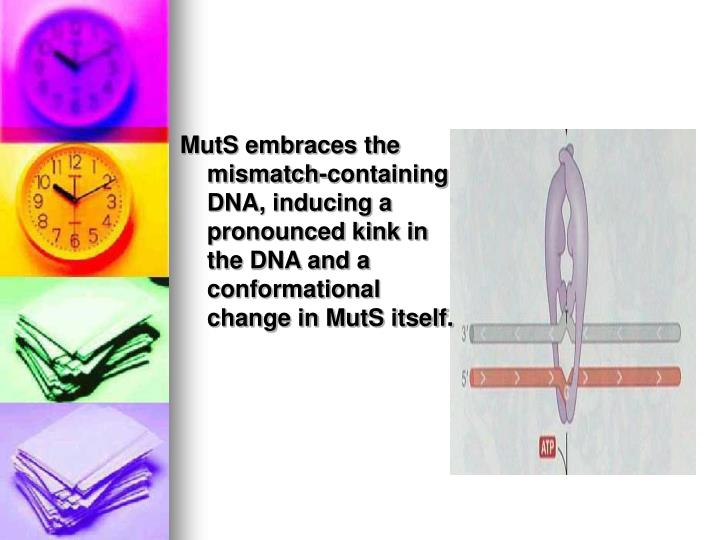 MutS embraces the mismatch-containing DNA, inducing a pronounced kink in the DNA and a conformational change in MutS itself.