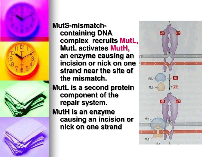 MutS-mismatch-containing DNA complex  recruits