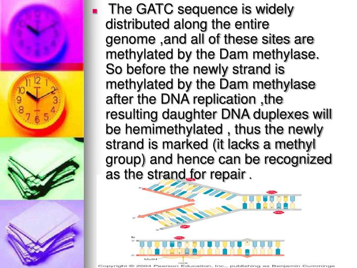 The GATC sequence is widely distributed along the entire genome ,and all of these sites are methylated by the Dam methylase. So before the newly strand is methylated by the Dam methylase after the DNA replication ,the  resulting daughter DNA duplexes will be hemimethylated , thus the newly strand is marked (it lacks a methyl group) and hence can be recognized as the strand for repair