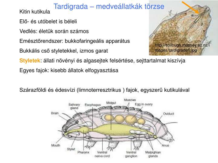 Tardigrada – medveállatkák törzse