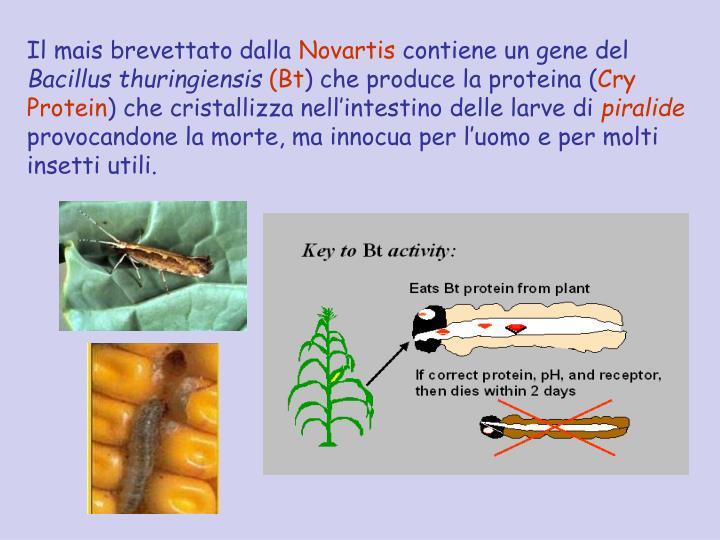 Il mais brevettato dalla