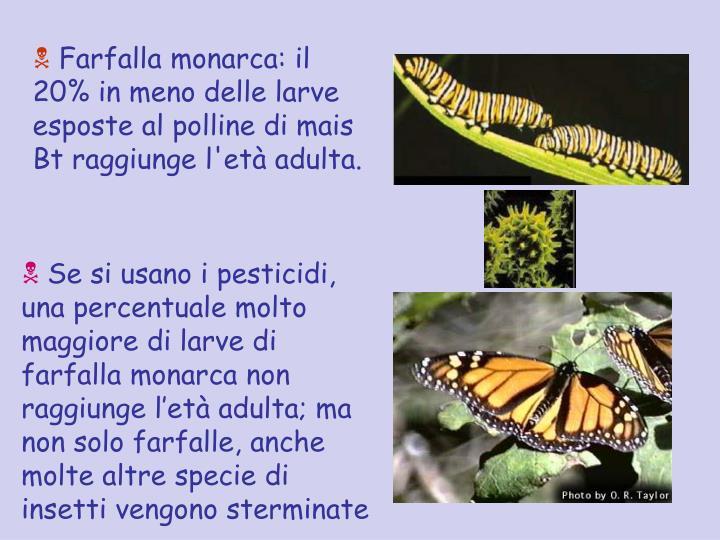Farfalla monarca: il 20% in meno delle larve esposte al polline di mais Bt raggiunge l'età adulta.
