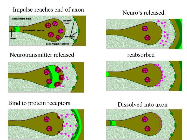 Impulse reaches end of axon