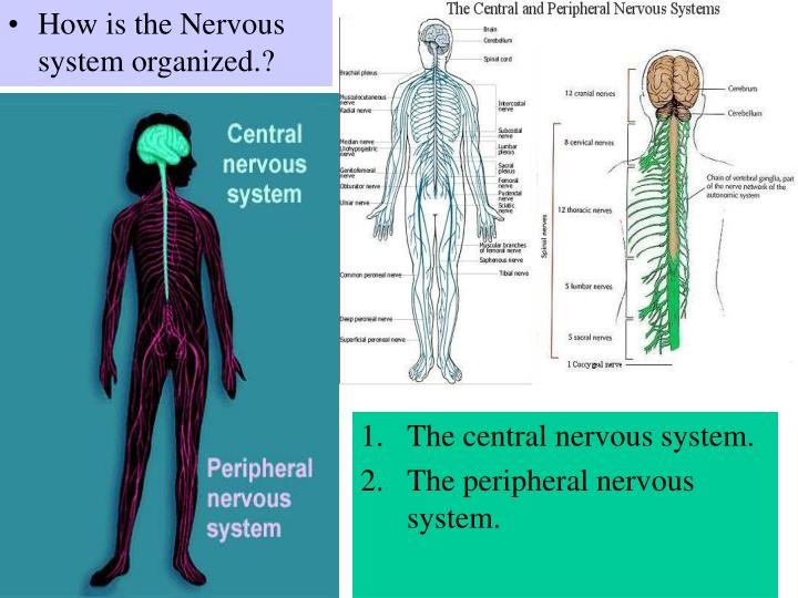 How is the Nervous system organized.?