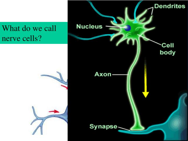 I.  Neurons are nerve cells specialized in sending electrochemical signals.