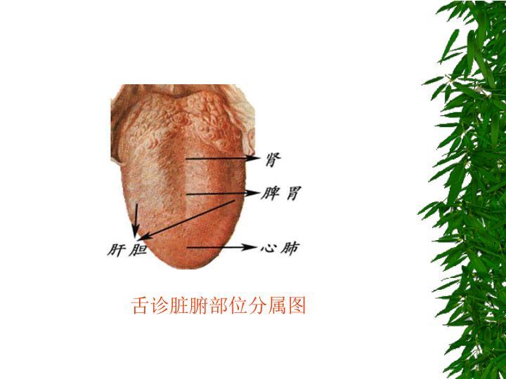 舌诊脏腑部位分属图