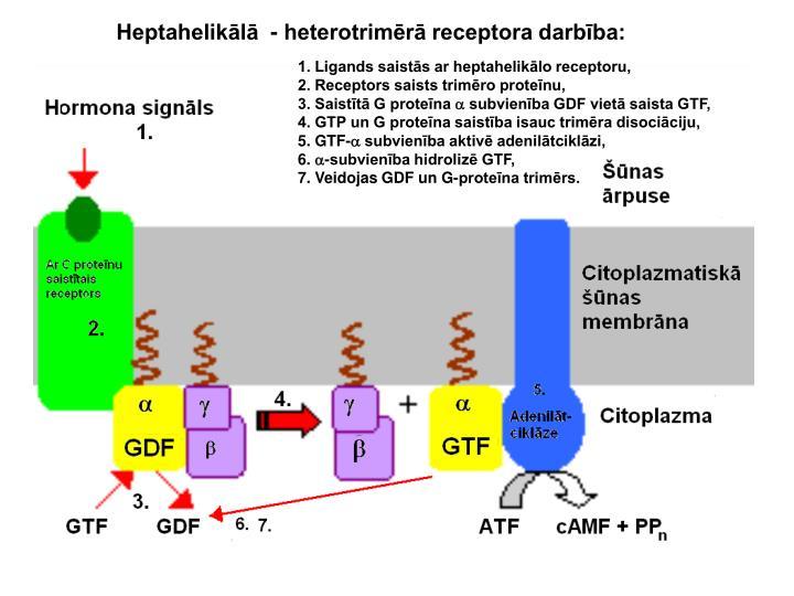 Heptahelikālā  - heterotrimērā receptora darbība: