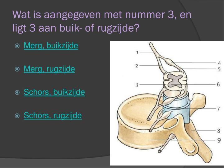 Wat is aangegeven met nummer 3, en ligt 3 aan buik- of rugzijde?