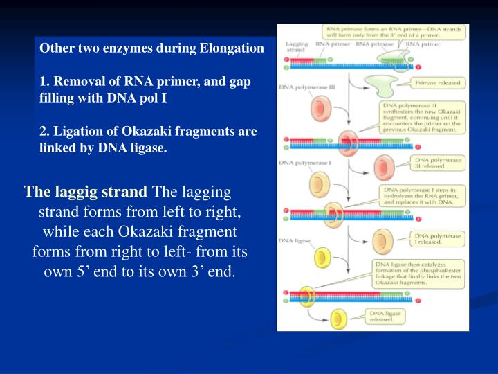 Other two enzymes during Elongation