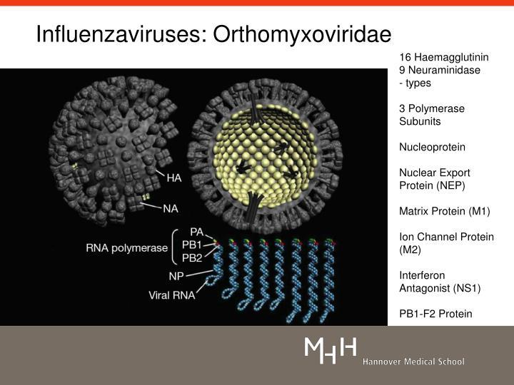 Influenzaviruses: Orthomyxoviridae