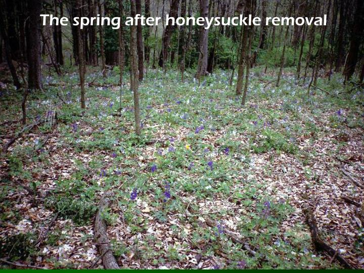 The spring after honeysuckle removal