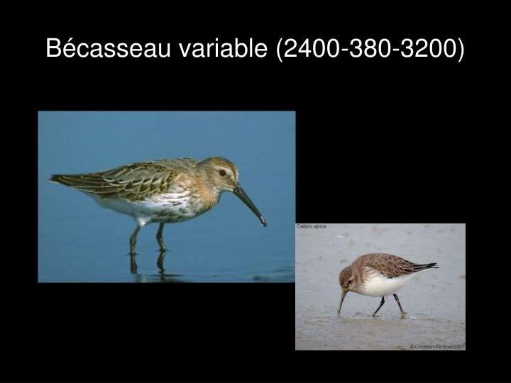Bécasseau variable (2400-380-3200)