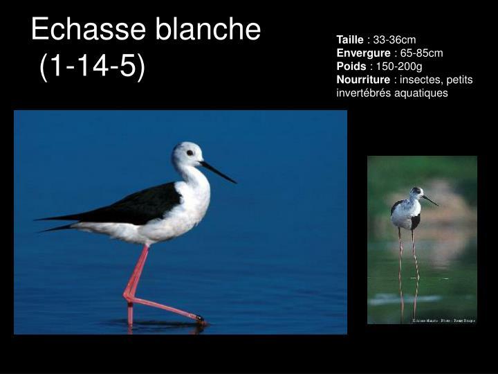 Echasse blanche