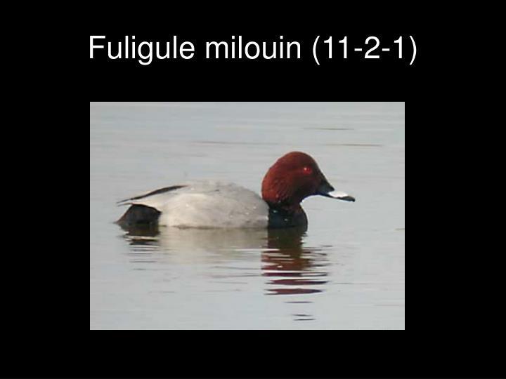 Fuligule milouin (11-2-1)