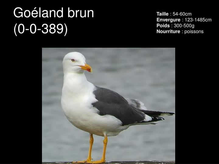 Goéland brun