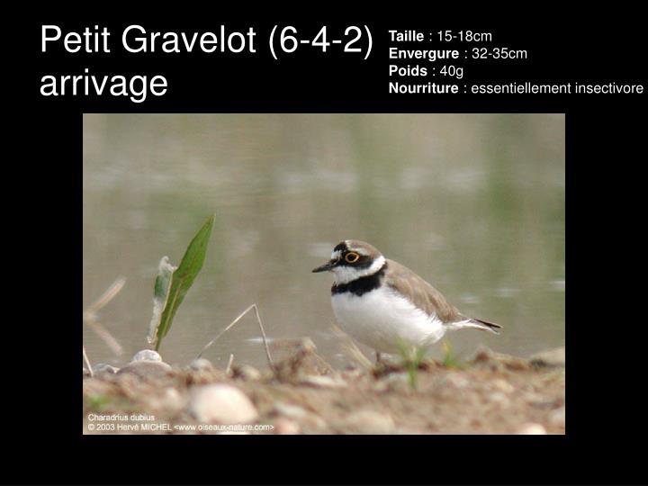 Petit Gravelot (6-4-2)
