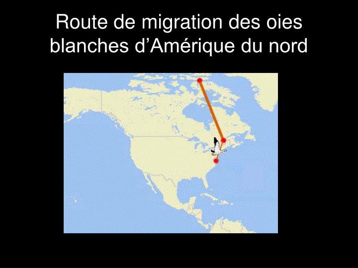 Route de migration des oies blanches d'Amérique du nord