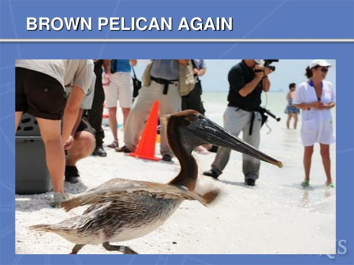 BROWN PELICAN AGAIN
