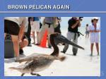brown pelican again