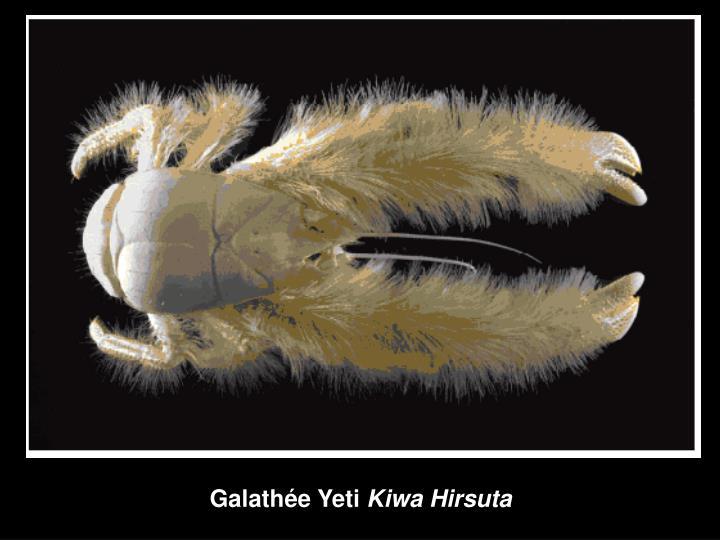 Galathée Yeti