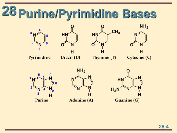 Purine/Pyrimidine Bases