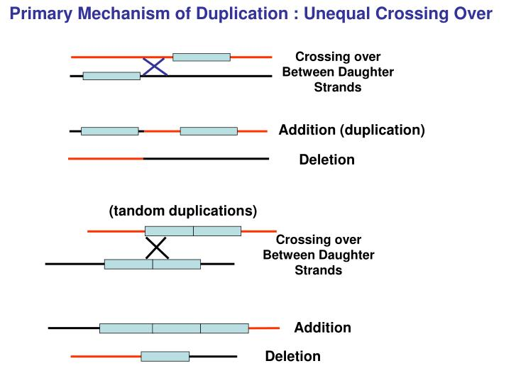 Primary Mechanism of Duplication : Unequal Crossing Over