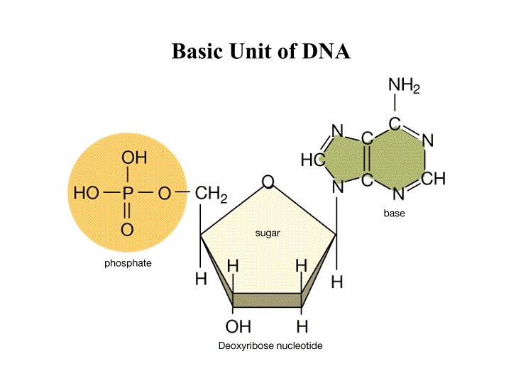 Basic Unit of DNA