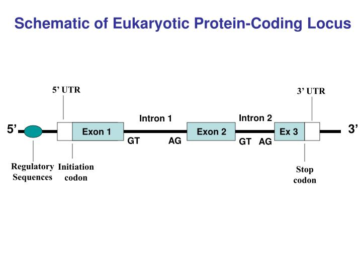 Schematic of Eukaryotic Protein-Coding Locus