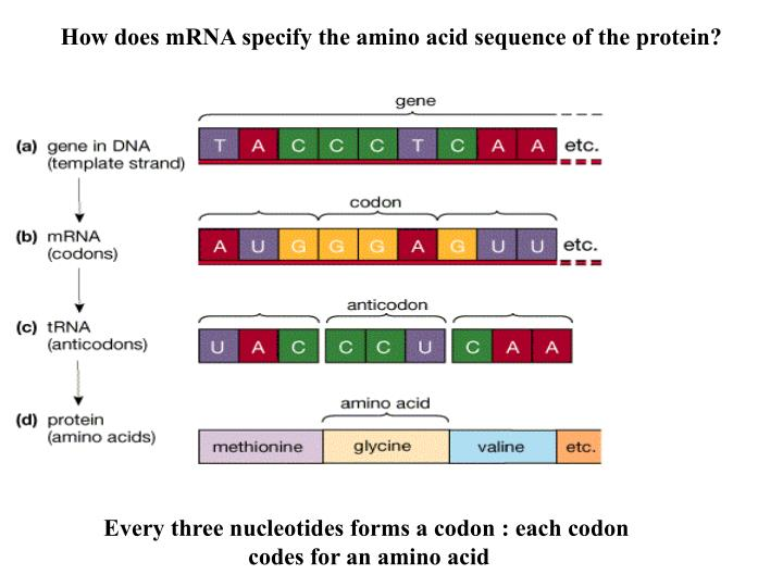How does mRNA specify the amino acid sequence of the protein?