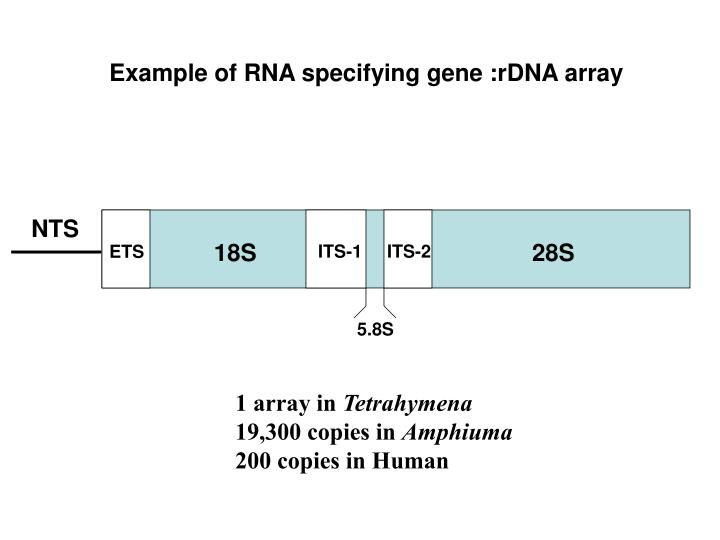 Example of RNA specifying gene :rDNA array