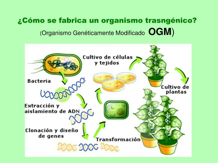 ¿Cómo se fabrica un organismo trasngénico?