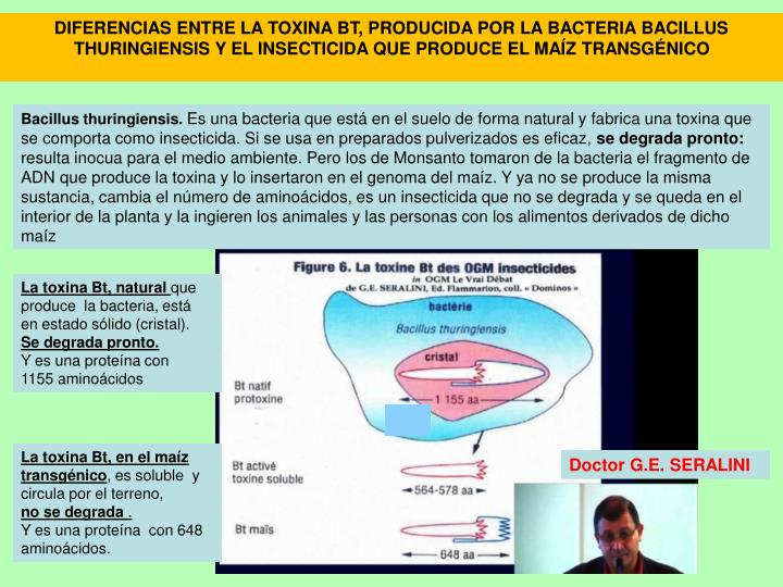 DIFERENCIAS ENTRE LA TOXINA BT, PRODUCIDA POR LA BACTERIA BACILLUS THURINGIENSIS Y EL INSECTICIDA QUE PRODUCE EL MAÍZ TRANSGÉNICO