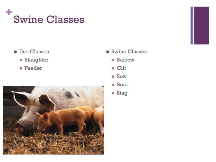 Swine Classes