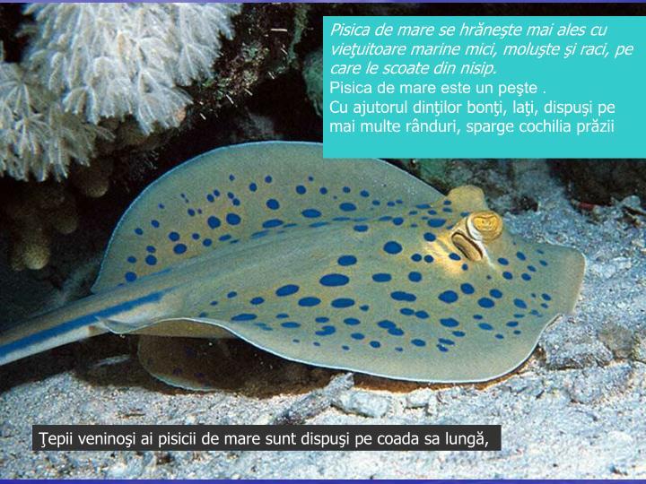 Pisica de mare se hrăneşte mai ales cu vieţuitoare marine mici, moluşte şi raci, pe care le scoate din nisip.