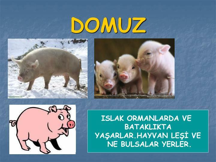 DOMUZ