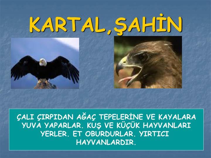 KARTAL,ŞAHİN