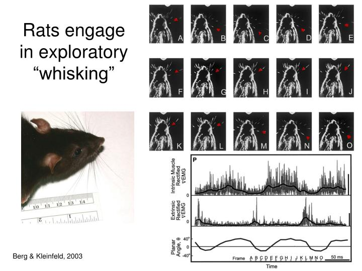 "Rats engage in exploratory ""whisking"""